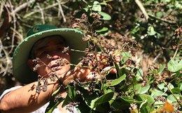 Clip: Cả vườn cây điều ở Lâm Đồng chết cháy, không thu được hạt nào