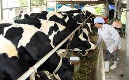 Nông dân làm giàu từ nuôi bò sữa