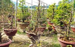 Khánh Hòa mất mùa mai Tết
