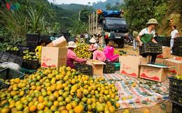 Chùm ảnh: Nhộn nhịp mùa thu hoạch cam ở Tuyên Quang