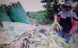 Kon Tum: Hàng chục héc ta bắp không hạt