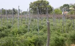 Măng tây xanh trên đất Xuân Hải, thu 400-600 ngàn đồng/ngày/sào