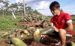Doanh nghiệp mất tích, hàng nghìn tấn bí của nông dân vứt ngoài đồng