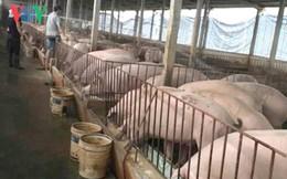 """Giá lợn tăng trở lại: Đắng cay ở """"thủ phủ"""" nuôi lợn miền Bắc"""