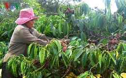 Giá cà phê lao dốc, nông dân găm hàng, doanh nghiệp khó thu mua