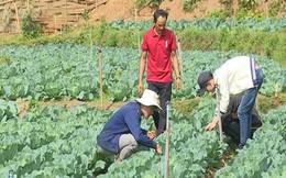 Chàng trai người Mông trồng rau sạch thu 200 triệu đồng/năm