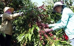 Cà phê Việt yếu từ tổ chức sản xuất đến chế biến