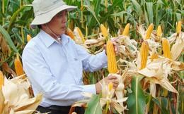 """Nông dân chuyển đổi từ lúa sang bắp sẽ được """"thưởng"""""""