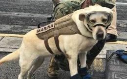 Cô chó được Tổng thống Mexico vinh danh sau khi cứu sống 52 người trong trận động đất khủng khiếp