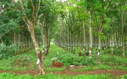 Sàn UpCOM sắp đón thêm 73 triệu cổ phiếu của cao su Đắk Lắk
