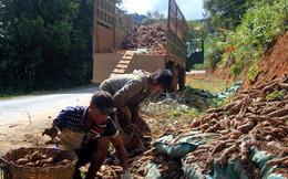 Xuất khẩu tinh bột sắn đi Trung Quốc đình trệ, người trồng sắn lao đao