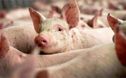 """Các đại gia trong ngành chăn nuôi điêu đứng vì hàng trăm tỷ lợi nhuận """"bốc hơi"""" theo giá heo"""