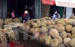 Sầu riêng ở Đắk Lắk bị chết do nấm