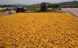 Việt Nam tiêu thụ 16% ngô của Nga