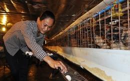Sau người nuôi lợn, đến lượt người nuôi gà vịt 'khóc ròng'