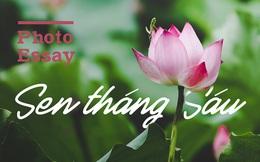 Hình ảnh say đắm lòng người của loài hoa làm dịu đi cái oi ả của mùa hè: Sen tháng 6