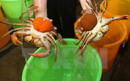 Giá cua biển thương phẩm tại tỉnh Trà Vinh tăng mạnh
