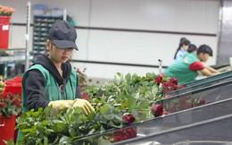 Giá hoa hồng Đà Lạt tăng từ 2-3 lần trước dịp lễ Valentine