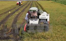Sản lượng lúa Đông Xuân tại Đồng bằng sông Cửu Long giảm