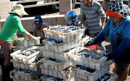 Ngư dân tỉnh Phú Yên trúng đậm cá biển, có nguồn thu đáng kể