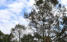 Sầu riêng chết hàng loạt gây thiệt hại cho nông dân Đắk Lắk