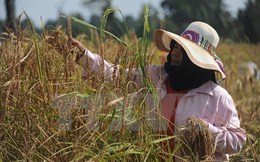 Thái Lan đặt mục tiêu xuất khẩu 10 triệu tấn gạo trong năm 2017