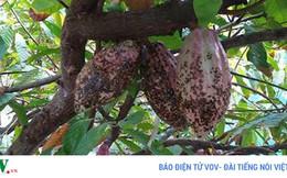 Thịnh suy cây ca cao trong vườn dừa ở Bến Tre