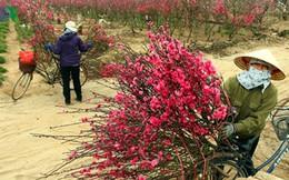 Hà Nội: Người trồng đào, quất lo mất mùa vì nắng nóng bất thường