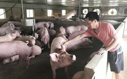 Người nuôi lợn ngụp lặn chờ Tết