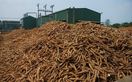 Giá sắn và nguyên liệu sắn liên tục tăng rất mạnh