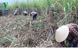 """Sau vụ """"mía đắng"""", nguy cơ nông dân ở Phú Yên sẽ bỏ trồng mía"""