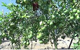 Trồng cây ăn quả trên đất dốc tại Sơn La cho hiệu quả kinh tế cao