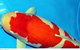 Ngắm cá Koi đắt nhất thế giới giá gần 42 tỷ đồng