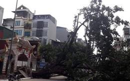 Hà Nội: Cây đa bật gốc chắn ngang đường Tôn Đức Thắng, giao thông tê liệt