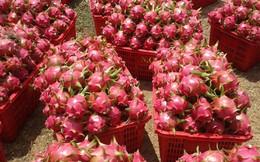 Thanh long tại vườn 2.000 đồng/kg, người tiêu dùng vẫn mua với giá cao gấp 10 lần