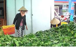 Chủ tịch tỉnh Cà Mau lệnh kiểm tra việc thương lái thu mua lá nhàu tươi