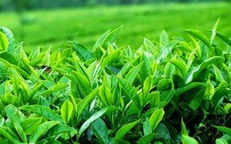 Chè Ô long của Việt Nam xuất khẩu đạt giá tới gần 6.000 USD/tấn
