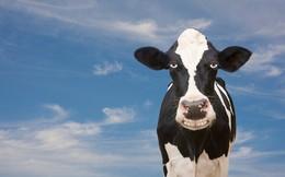 Ngành sữa đang trở lại?
