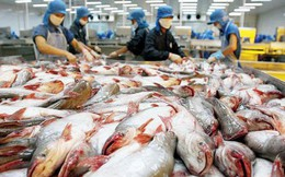 Xuất khẩu cá tra sang Mỹ tăng mạnh, trở lại là thị trường xuất khẩu cá tra số 1 của Việt Nam