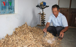 Bị lừa trồng gừng sạch, nhiều nông dân Gia Lai mất hàng trăm triệu