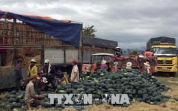 Dưa hấu được mùa, được giá, nông dân Ninh Thuận phấn khởi đón Tết