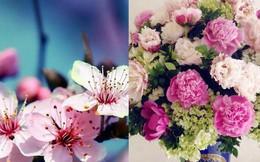 Tết Việt Nam thì không thể thiếu đào mai, còn người dân châu Á trưng hoa gì trong năm mới để có nhiều may mắn tài lộc?