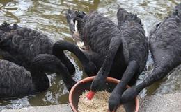 Thiên nga chạy lên bờ đứng cạnh du khách sau hơn 20 ngày được thả ở hồ Thiền Quang