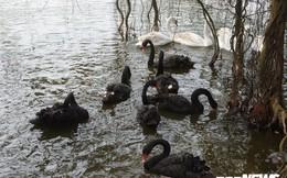 Sở Văn hóa Hà Nội không biết việc thả 12 con thiên nga ở Hồ Gươm