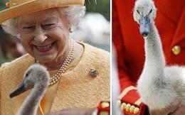 """Anh: Ô tô cũng phải lùi bước trước thiên nga - loài chim quốc gia được chính Nữ hoàng """"bảo hộ"""""""