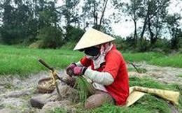 Nông dân lo mất Tết vì kiệu mất mùa rớt giá