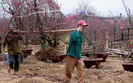 Nông dân đi đánh gốc đào thuê: Mỗi ngày kiếm tiền triệu