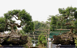 """2 cây sanh dáng """"Thần Kim Quy"""" giá 4 tỷ không bán ở Sài Gòn"""