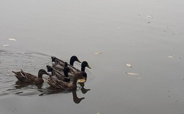 Hà Nội sẽ thông báo rộng rãi tìm chủ nhân của đàn vịt ở Hồ Gươm