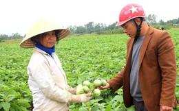 Cà dừa được mùa, giá cả ổn định, dân đi hái như trẩy hội